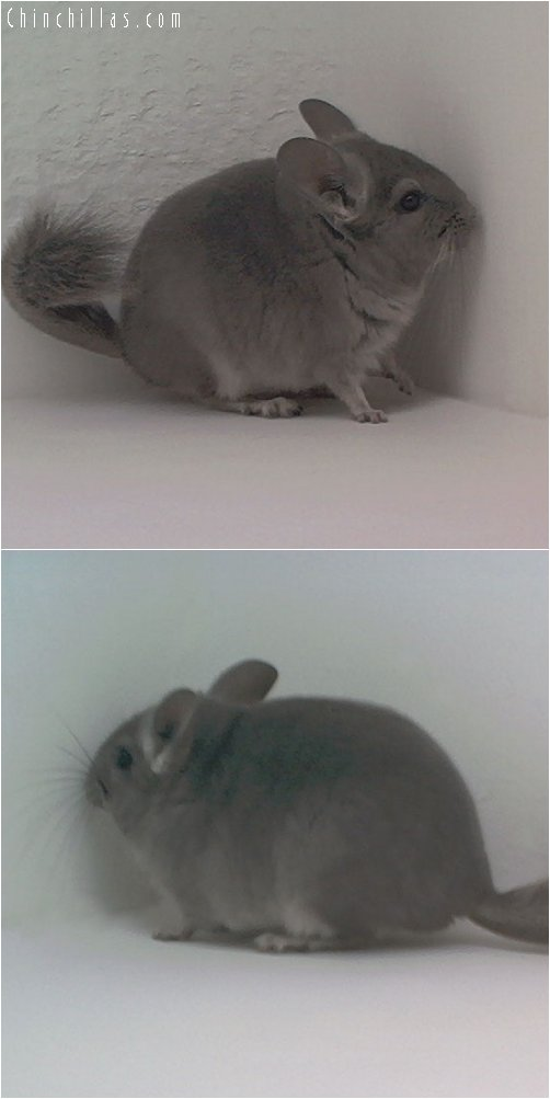 1820 Violet ( Ebony Carrier ) Male Chinchilla