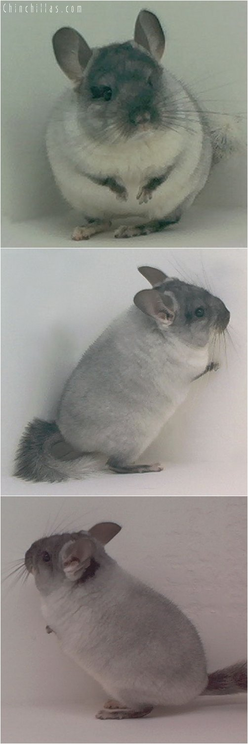 1824 Show Quality TOV White Male w/ Body Spot Chinchilla
