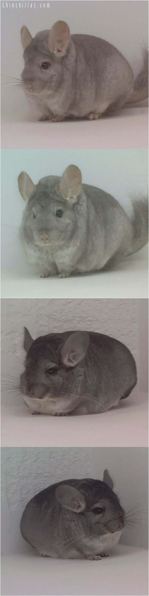Lot 43 Showable Beige and Standard Pair Chinchilla