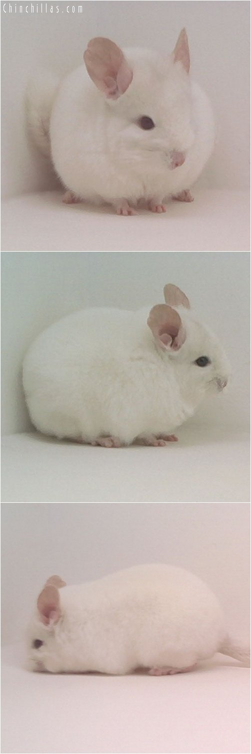 1848 Show Quality Pink White Female Chinchilla