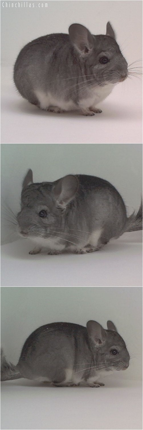 1817 Standard ( Sapphire Carrier ) Male Chinchilla