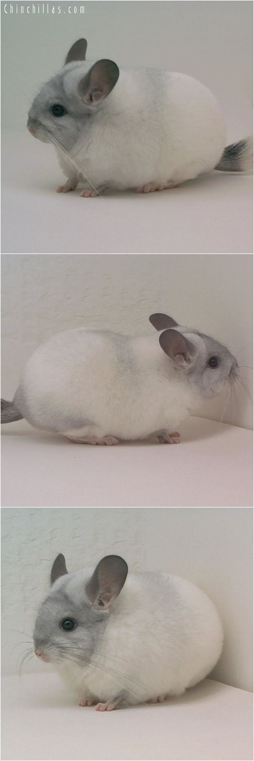 1847 Top Show Quality Mosaic Female Chinchilla
