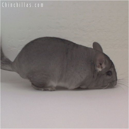 1851 Standard ( Sapphire Carrier ) Female Chinchilla