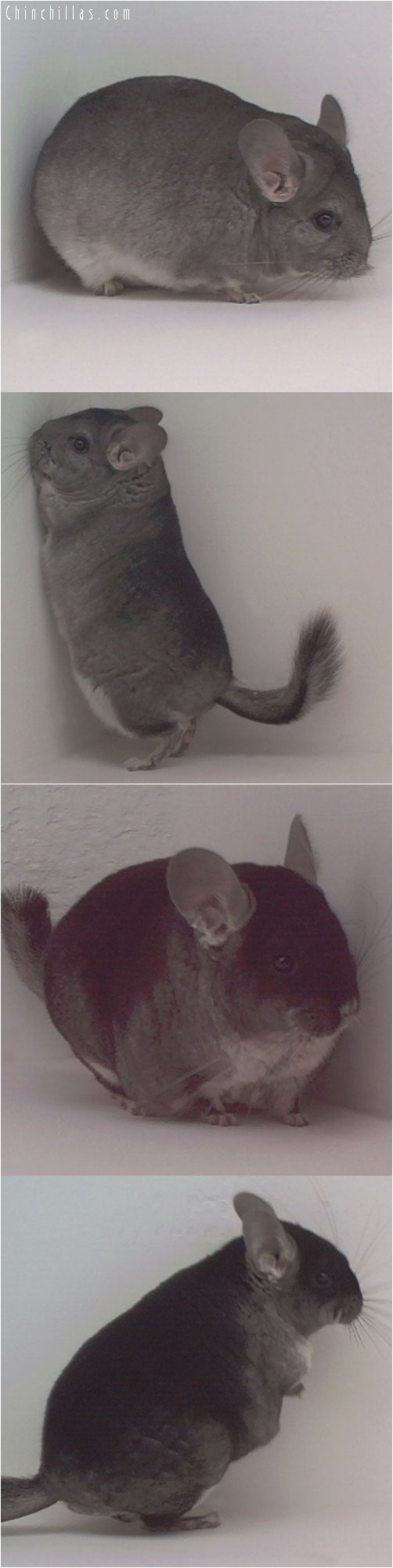 Lot 44 Show Quality Standard & Black Velvet Pair Chinchilla