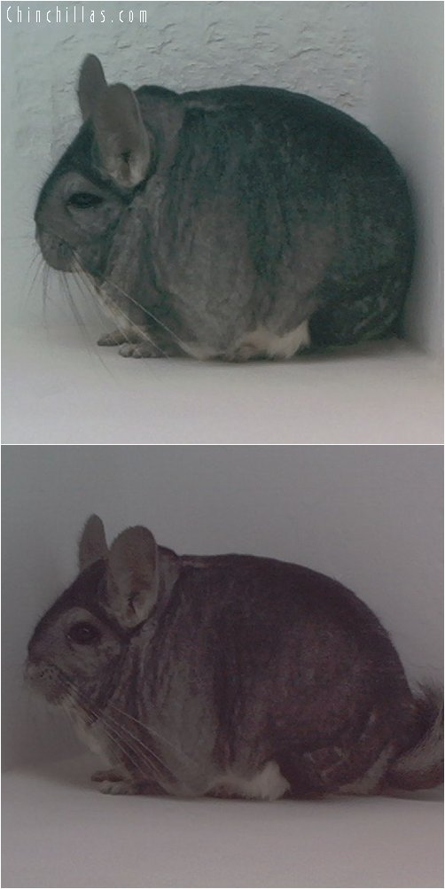 1787 Show Quality Extra Large Standard Male Chinchilla