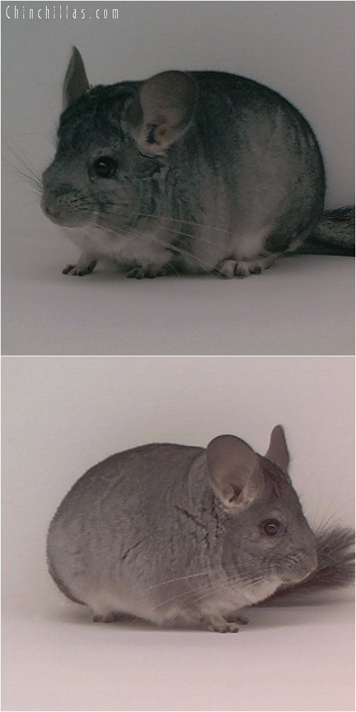 1819 Standard ( Violet Carrier ) Male Chinchilla