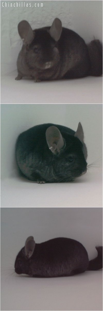 1842 Show Quality Ebony Female Chinchilla