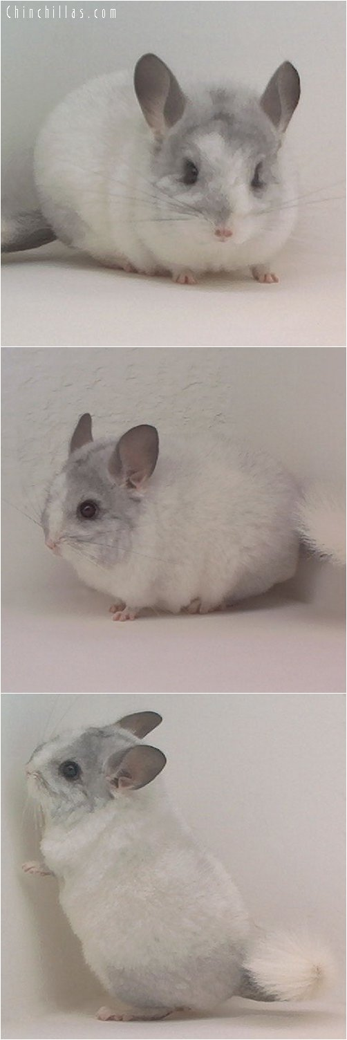 1858 Blocky / Brevi-type White Mosaic Female Chinchilla