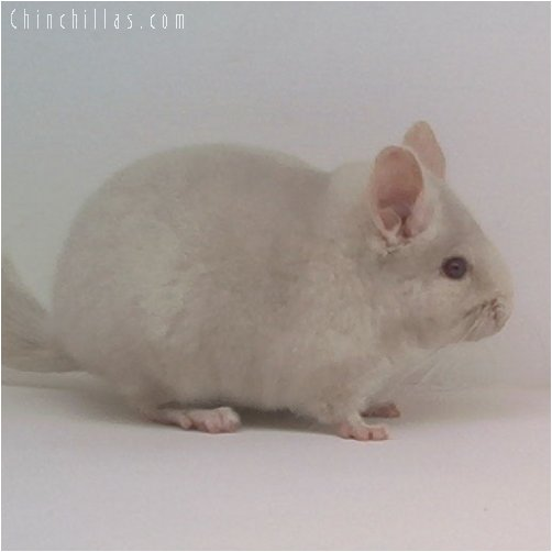 1862 Homozygous Beige Female Chinchilla