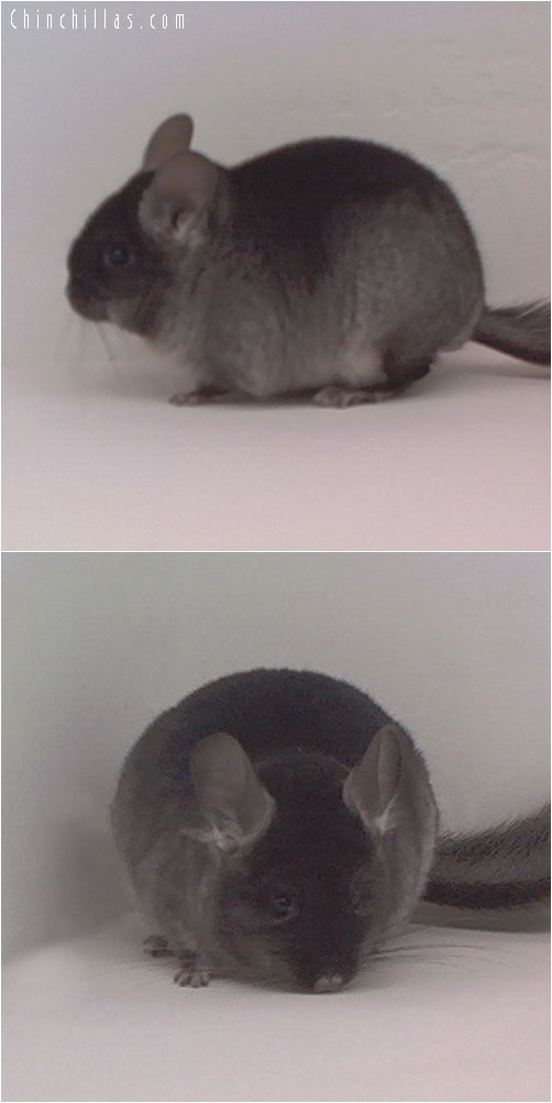 1859 Black Velvet ( Ebony Carrier ) Female Chinchilla