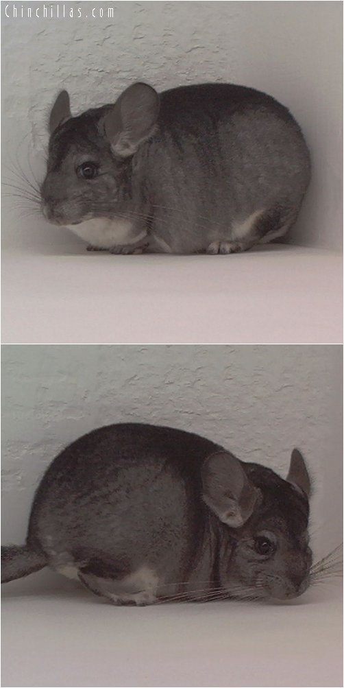 1860 Standard ( Violet Carrier ) Female Chinchilla