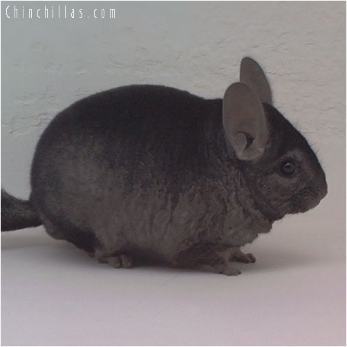 1839 Heterozygous Ebony Male Chinchilla