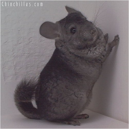 1843 Heterozygous Ebony Female Chinchilla