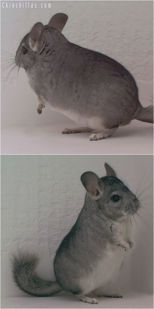 1821 Standard ( Sapphire Carrier ) Male Chinchilla