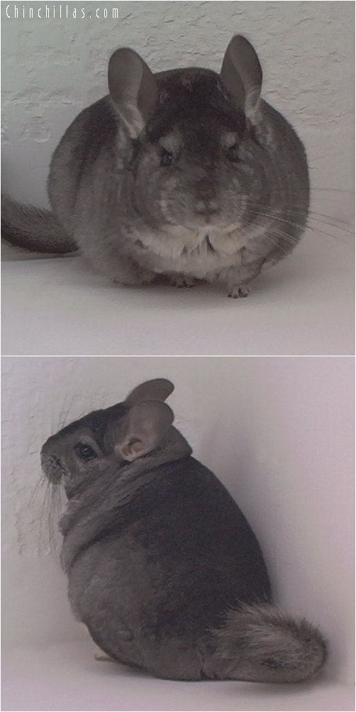 1834 Show Quality Standard Female Chinchilla