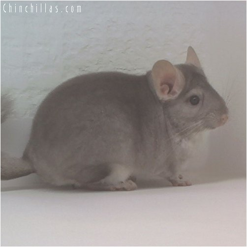 1866 Top Show Quality Beige ( Ebony Carrier ) Female Chinchilla