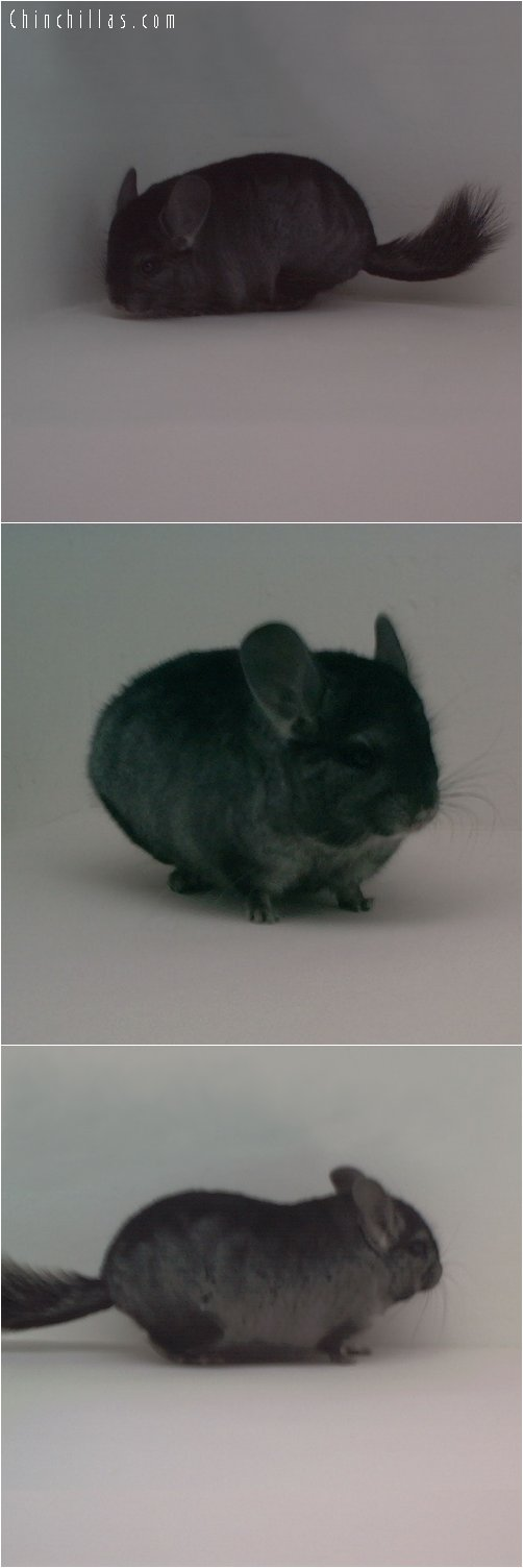 1750 Blocky Miniature Heterozygous Ebony Male Chinchilla