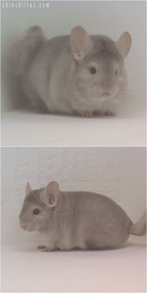 1865 Top Show Quality Beige Female Chinchilla