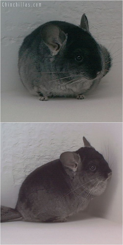 1889 Show Quality Black Velvet ( Violet Carrier ) Male Chinchilla