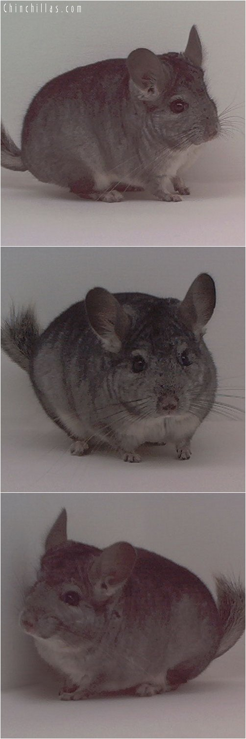 1836 Standard ( Ebony & Violet Carrier ) Male Chinchilla