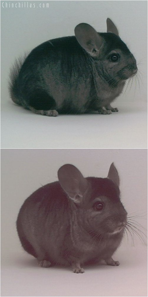 1840 Show Quality Heterozygous Ebony Male Chinchilla