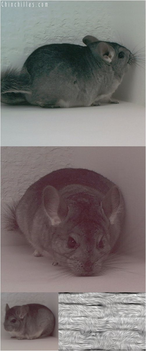 1899 Standard ( Sapphire Carrier ) Female Chinchilla
