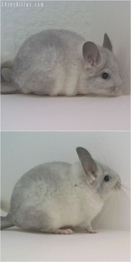 1762 Silver Female Chinchilla