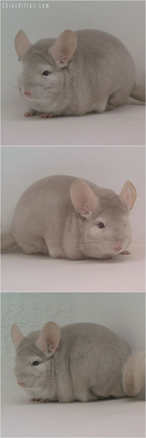 1877 National Color Champion Homo Beige Male Chinchilla