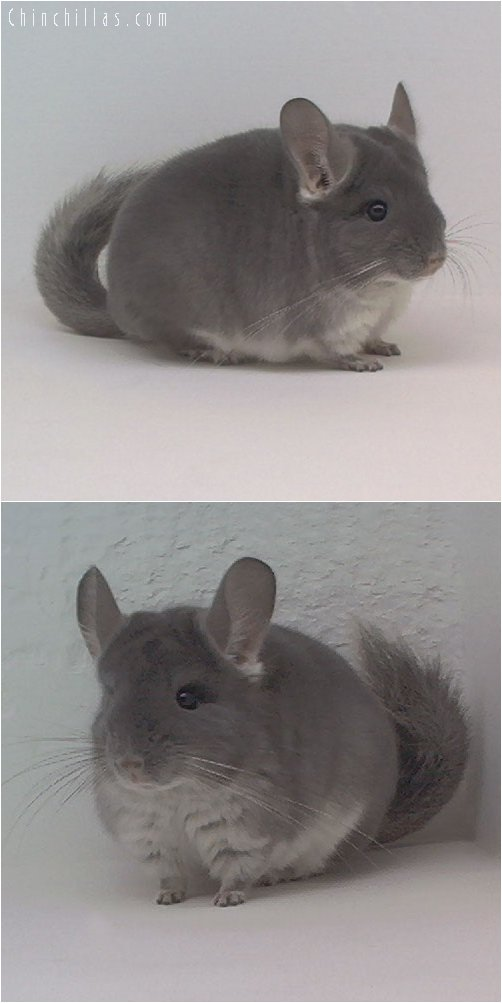 1910 TOV Violet Female Chinchilla