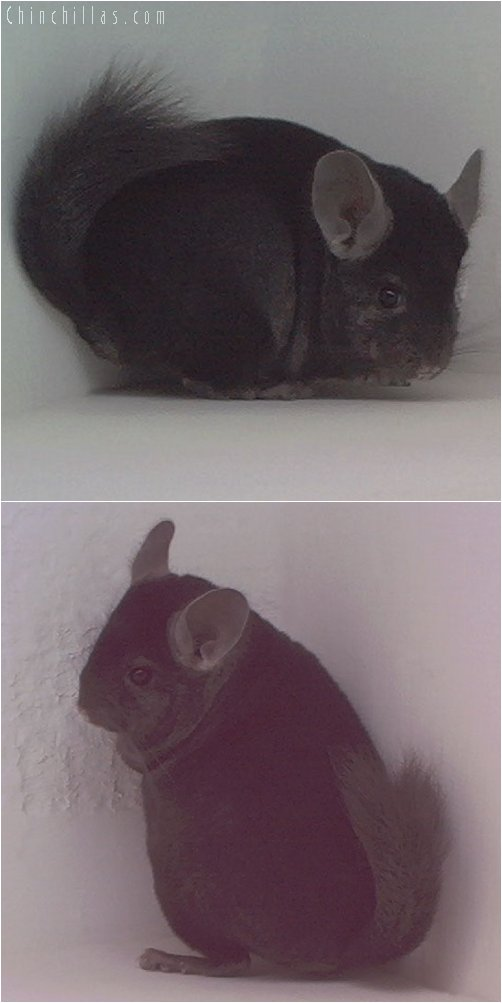 1904 Ebony Male Chinchilla