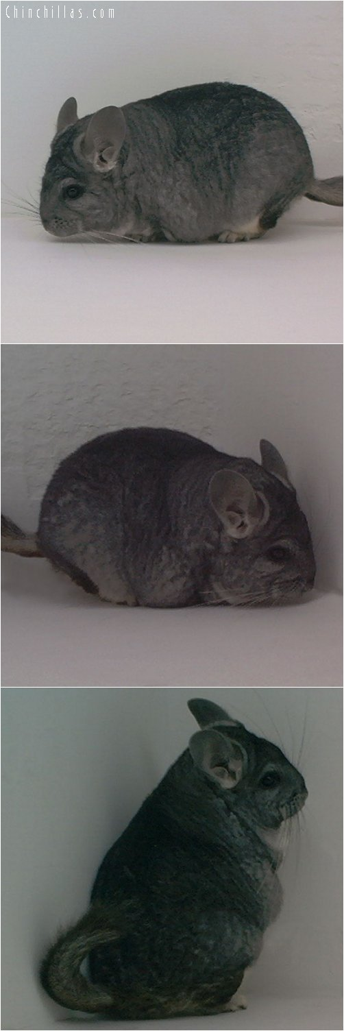 1833 Large Show Quality Standard Female Chinchilla