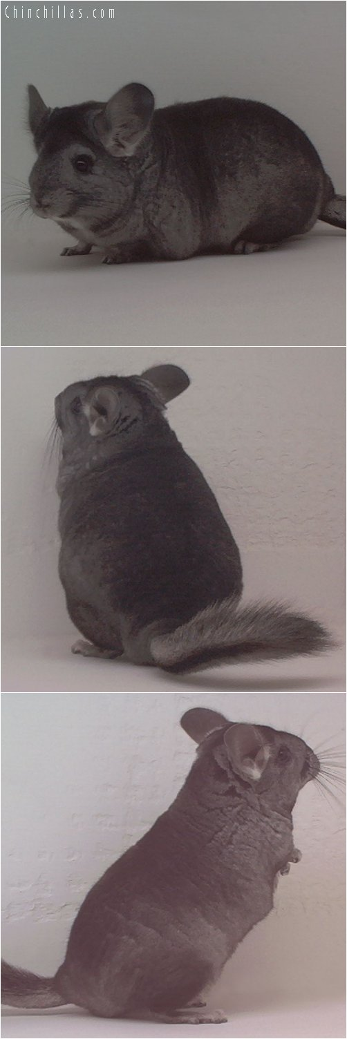1841 Heterozygous Ebony Female Chinchilla