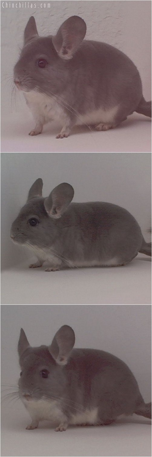 1888 Showable Quality Violet Male Chinchilla