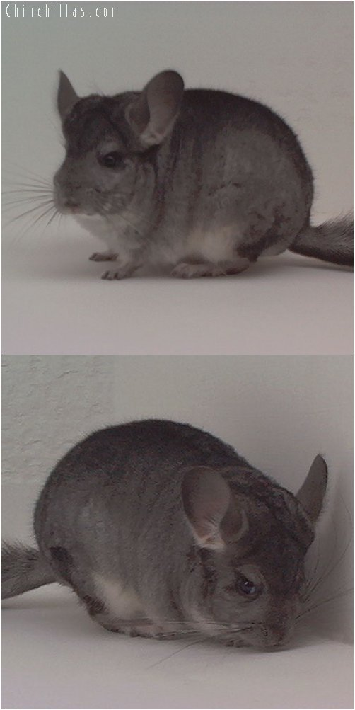 1853 Standard ( Violet Carrier ) Female Chinchilla