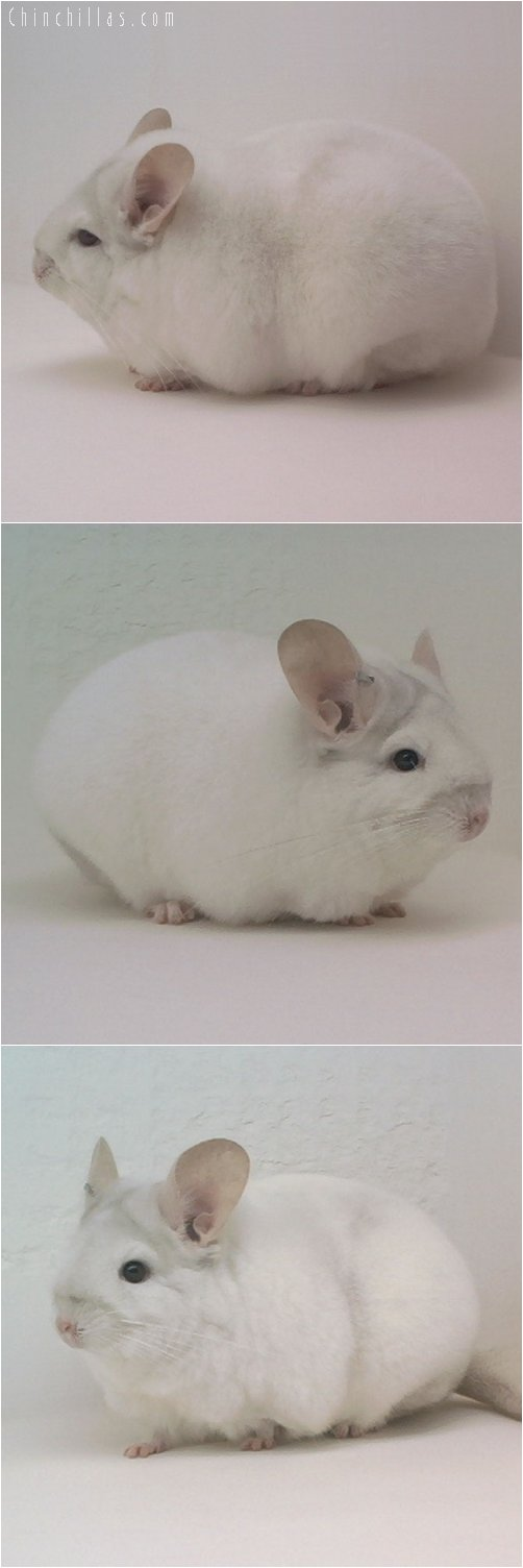 1869 National Section Champion Pink White Female Chinchilla