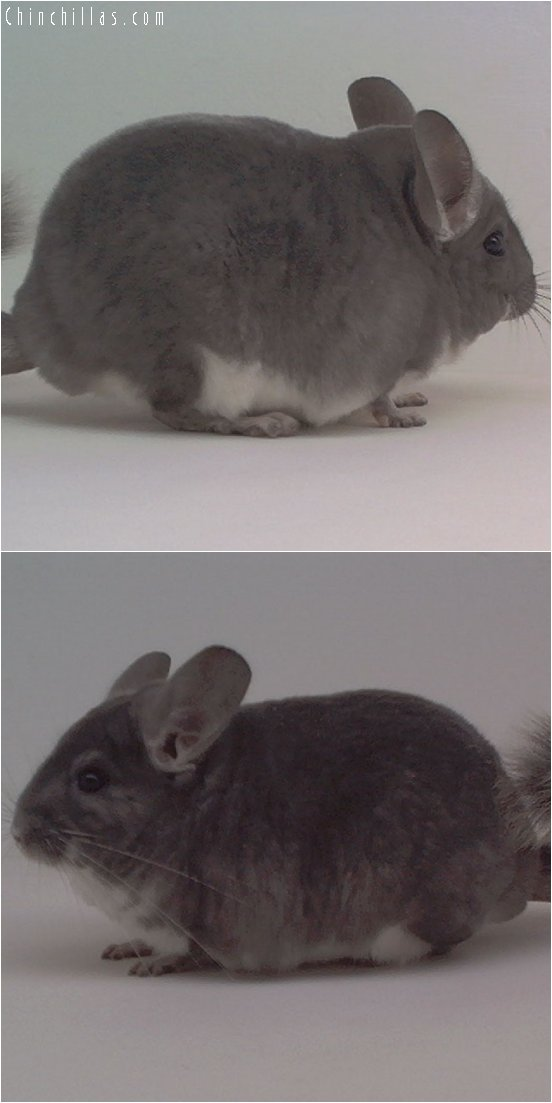 1874 Large National 1st Place Violet Male Chinchilla