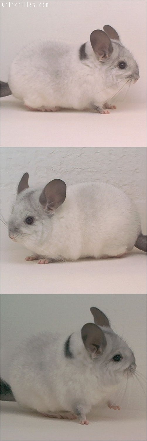 1928 Show Quality Mosaic Male Chinchilla