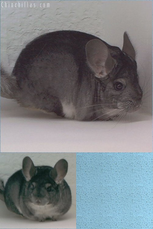 1900 Show Quality Standard Female Chinchilla