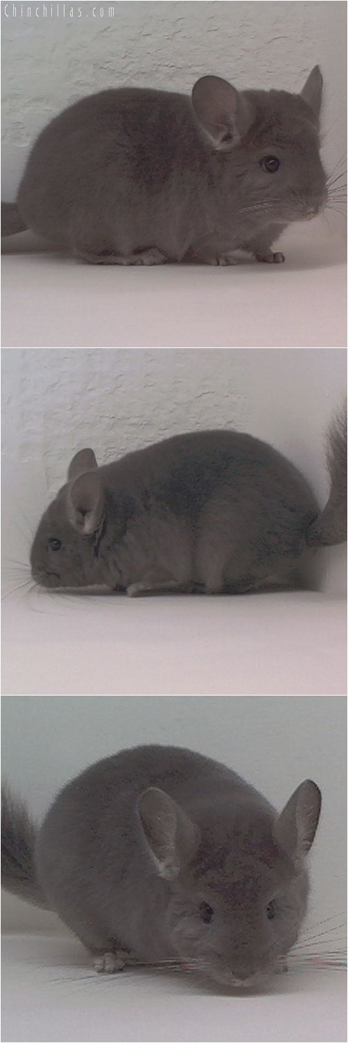 1932 Wrap-around Violet Female Chinchilla