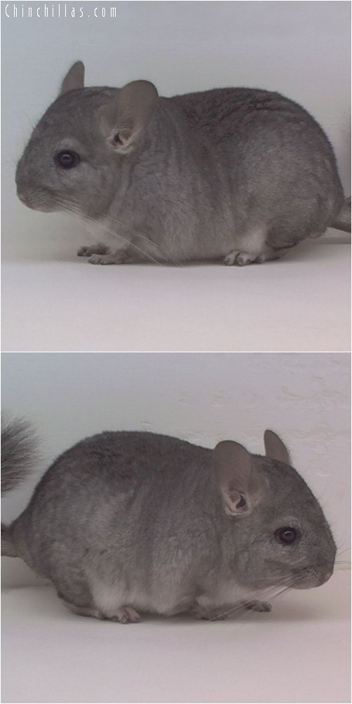1927a Standard ( Sapphire Carrier ) Male Chinchilla