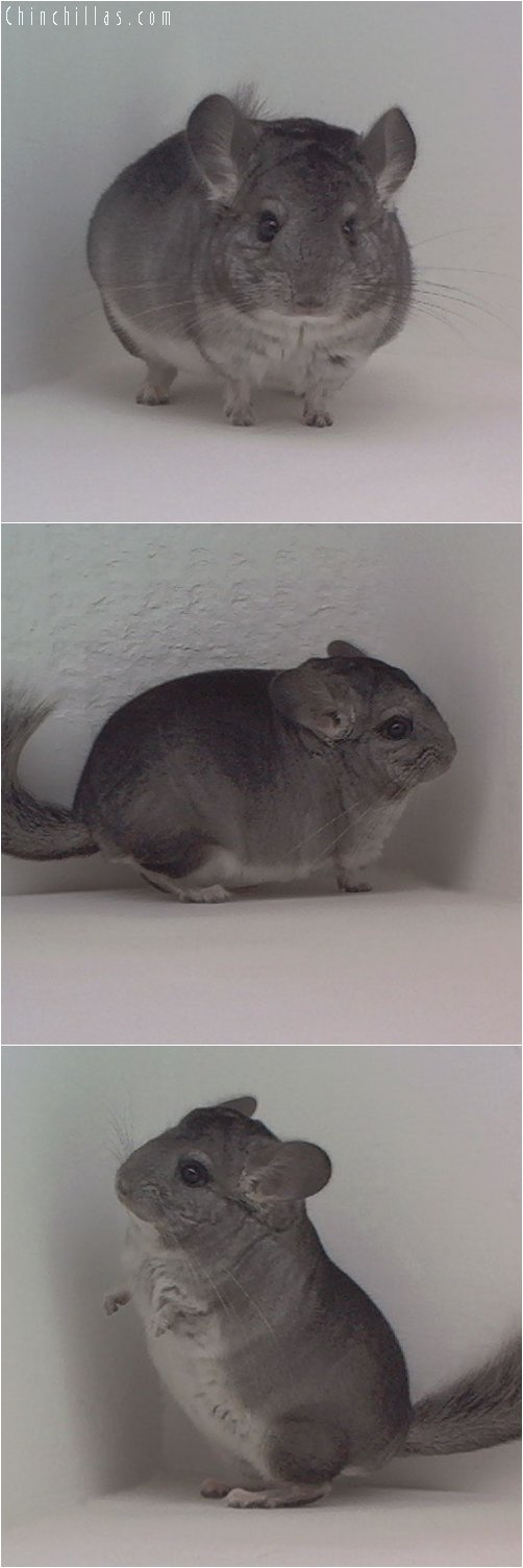 1955 Miniature Standard Male Chinchilla