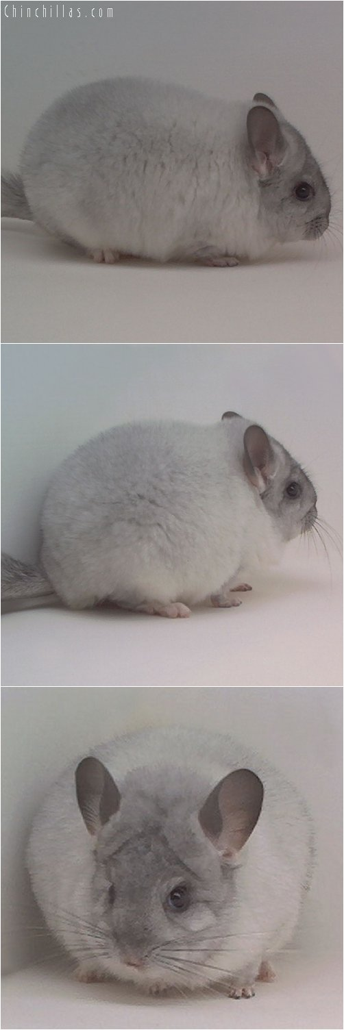 1895 Top Show Quality Mosaic Female Chinchilla