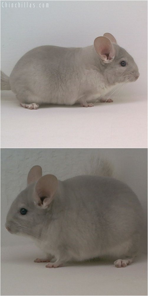 1959 Top Show Quality Beige / Violet Female Chinchilla