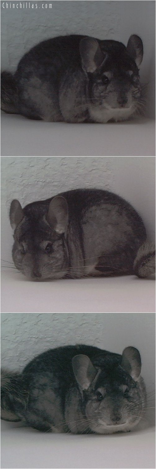 1896 Top Show Quality Standard Female Chinchilla