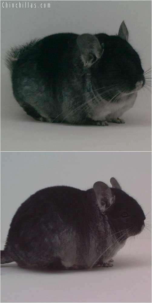 1972 Top Show Brevi - type Black Velvet Male Chinchilla