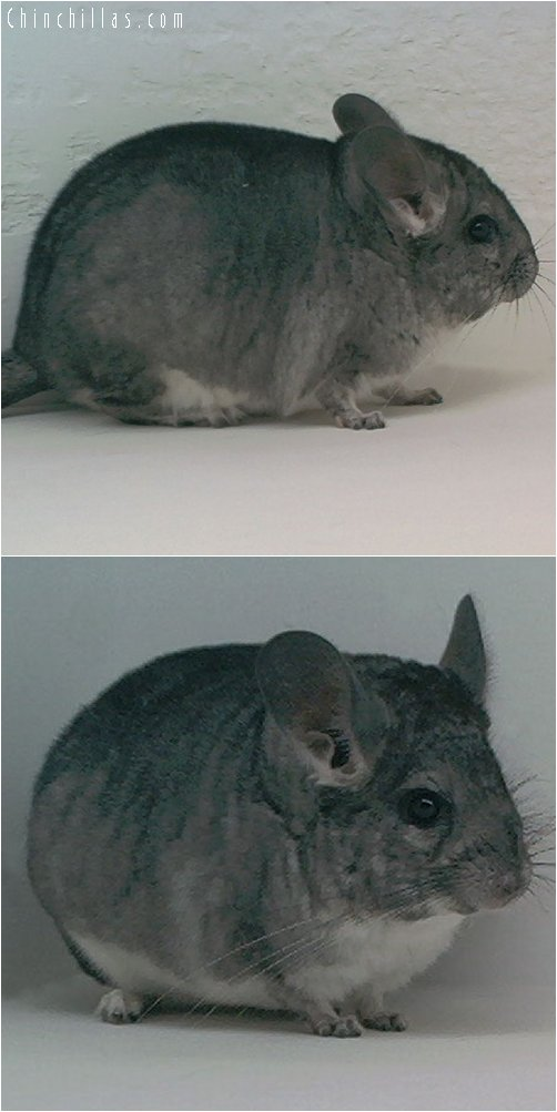 1958 Show Quality Standard ( Violet Carrier ) Female Chinchilla