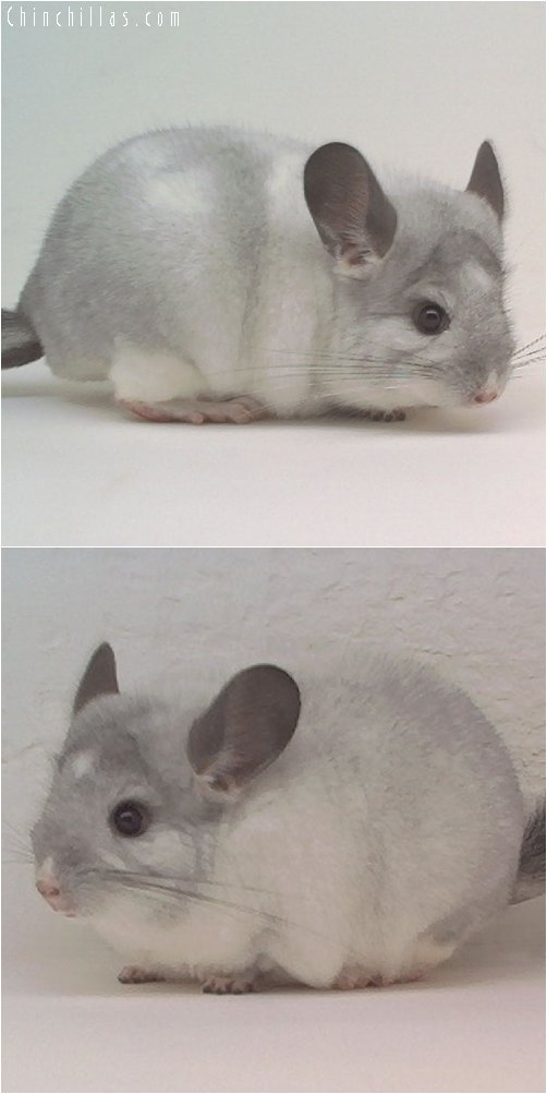 1976 Reserve Section Champion Mosaic Male Chinchilla