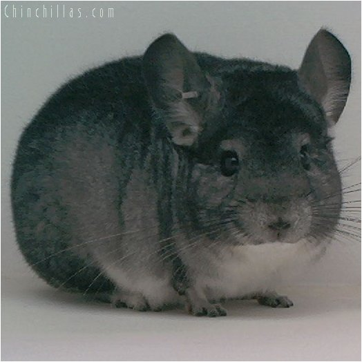 1969 National 1st Place Standard Male Chinchilla