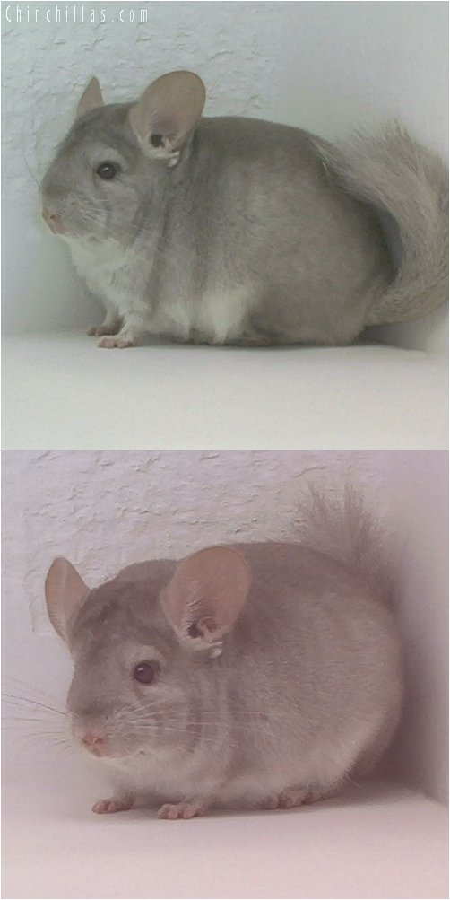 1927 Beige ( Sapphire Carrier ) Male Chinchilla