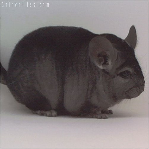 1973 Show Quality Ebony Female Chinchilla